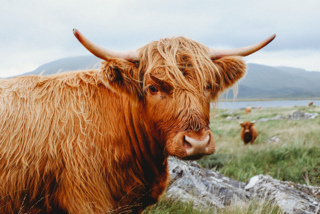 Highlander cow on Isle of Mull, Scotland