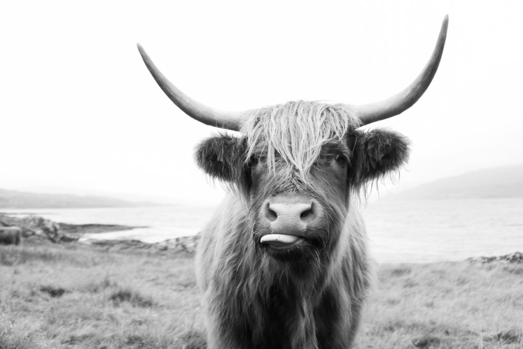 black and white image of highlander cow with his tongue sticking out on the Isle of Mull. Photo by Laura Mares Photography, Pittsburgh Lifestyle Photographer.