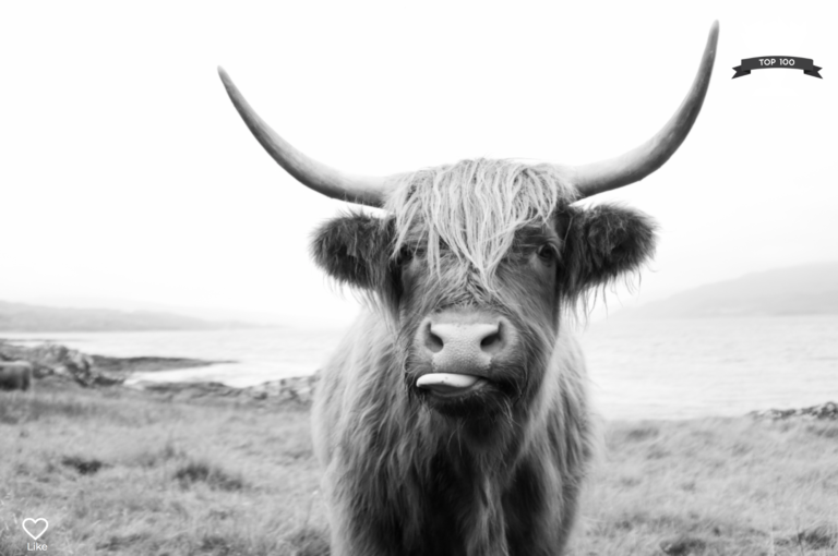 Portrait of a highlander cow on the Isle of Mull. Portrait by Laura Mares Photography, Pittsburgh Portrait Photographer.