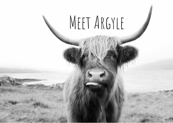 The Story Behind the Highlander Cow Portrait