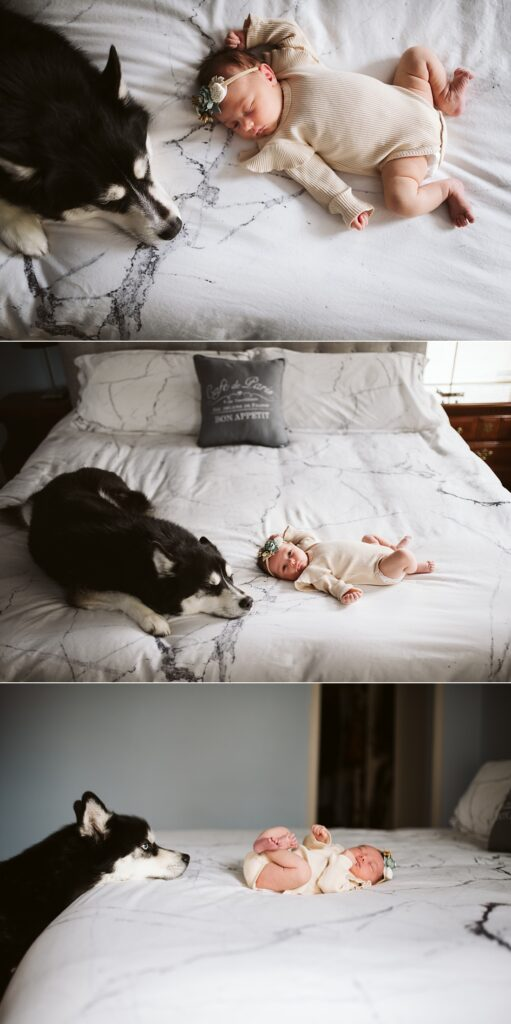 lifestyle portraits of a newborn baby with Siberian Husky on a bed near Pittsburgh, PA